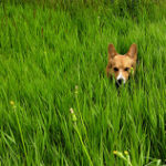 flickr fun:  Pembroke Welsh Corgi in Meadow