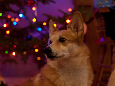 Your Christmas Corgi Photos — Final Day!