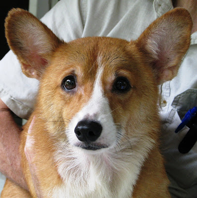 Doggone Good:  Sunshine Corgi Rescue of Florida