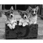 Anatomy of Corgi Puppy Cuteness 101