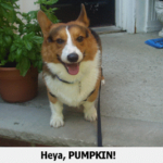 Pumpkin needs some Corgi People Power!