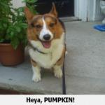 Pumpkin needs some Corgi People Power!