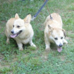 Three year-old Pem sisters in Georgia, adoptable!