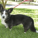 Cardi girl Hannah in TX on Pet Finder!