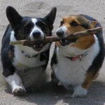 San Francisco Bay Area Corgis:  Connect here!