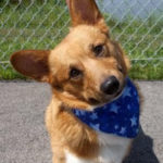 Adoptable Pembroke William in Southern Indiana