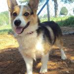 Adoptable Pembroke:  Cosmo Carl of Oklahoma City!