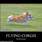 Flying Corgis