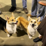 If's official:  Pete and Bunny, the stolen Corgis, are A-OK!