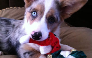 A Very Corgi Christmas!