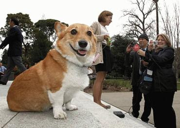 First Corgi Sutter Brown speaks to the press!