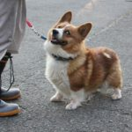 Japan's Rescued Rooftop Corgi