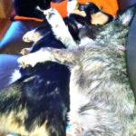 Sleeping Corgis are back this Saturday!