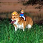 Mamas don't let your Corgis grow up to be cowboys …