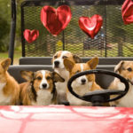 The Corgis of Proud Spirit Horse Sanctuary