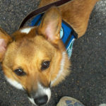 Little Rhody's Mulder begins work as a Therapy Dog!