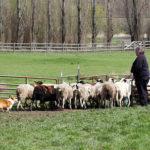 Coming Next Week:  Herding 101!