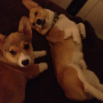 Erk and Harold of Tennessee: A Tale of Two Corgis