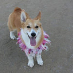 Vote a Corgi Into the Top Spot — UPDATE!