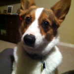 Zeke: Corgi Alarm Clock!