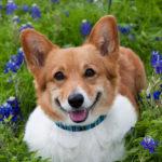 Penny among the Texas bluebonnets!