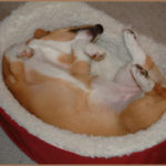 Sleeping Corgis Week — Day Four!