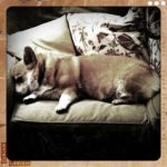 Sleeping Corgis … MORE nap-a-liciousness!