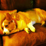 Good night Corgi Nation!