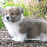 Puppy Cam: Ed The Corgi!