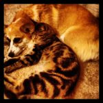 Corgis n' Cats: Misty and the Kitten!