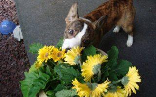 Cardi Puppy Cam: Sidney!