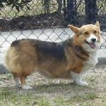 Catching Up with CorgiPals: Three, Two, One!