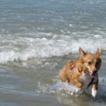Southern California Corgi Beach Day!