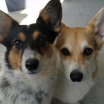 Pets Add Life: How Our Corgis Make Us Laugh!