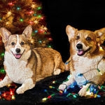 A Very Corgi Pre-Christmas Weekend!