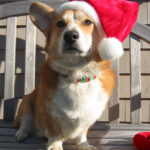 Holiday Photos: Christmas Corgis Continued!
