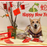 Corgi Kiko: Happy Lunar New Year!