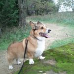 Calling All Corgi Nation Votes for Benny and Corgi Rescue!