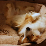 Sweet Corgi Dreams Darby …