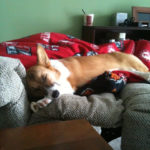 Sweet Corgi dreams, Lucy …