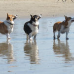 Southern California Spring Corgi Beach Day's Comin' Up!