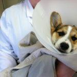 Little Lambert's Surgery Success!