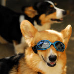 Doggles Cam: Koby!