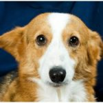 Catching Up with CorgiPals: If you build it, they will come …