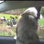 Drive-By Herding!