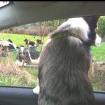 Drive-By Herding!