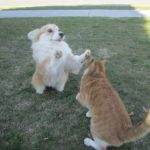 Mortal Kombat: Corgi vs. Cat!