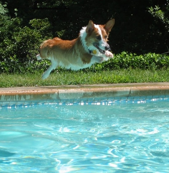 Baby it's hot outside … all Corgis in the POOL!