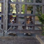 Corgis At The Garden Gate: Beau and Bella!