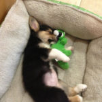 Good night Penny, good night Corgi Nation …